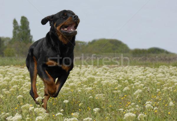 Fut rottweiler fajtiszta mező virágok fogak Stock fotó © cynoclub