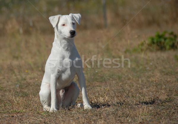 sitting jack russel terrier Stock photo © cynoclub