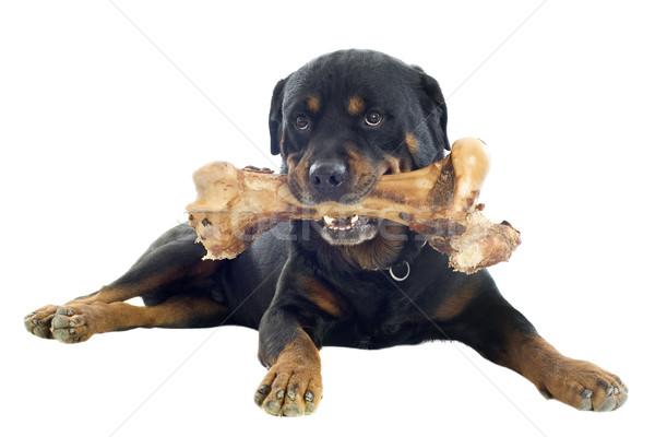 Rottweiler portré fajtiszta csont fehér hús Stock fotó © cynoclub