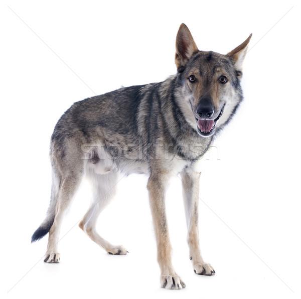 портрет волка луговой опасность Словакия Сток-фото © cynoclub