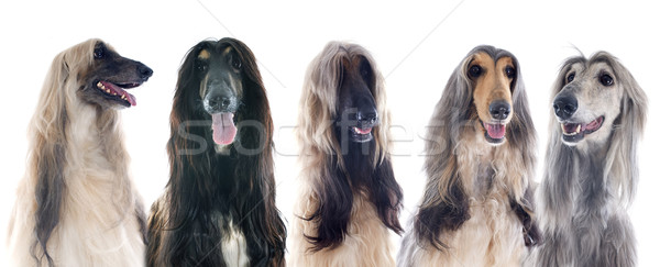 afghan dogs Stock photo © cynoclub