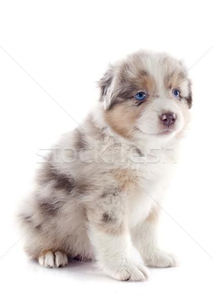 puppy australian shepherd Stock photo © cynoclub