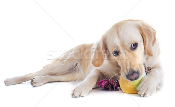 Golden retriever beyaz köpek top oyuncak Stok fotoğraf © cynoclub