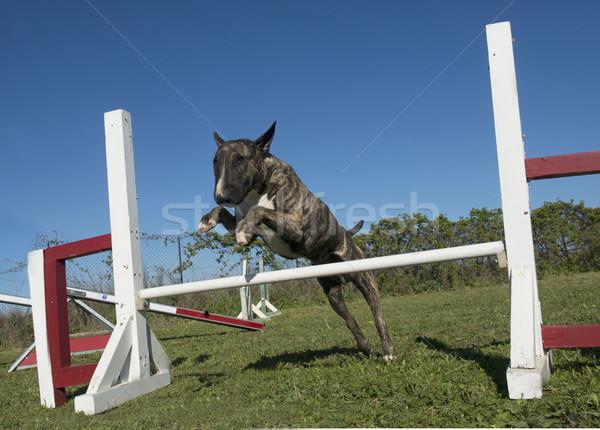 Képzés mozgékonyság kutyaféle klub kutya mező Stock fotó © cynoclub