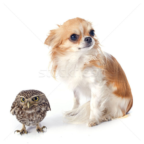 Little owl and chihuahua Stock photo © cynoclub