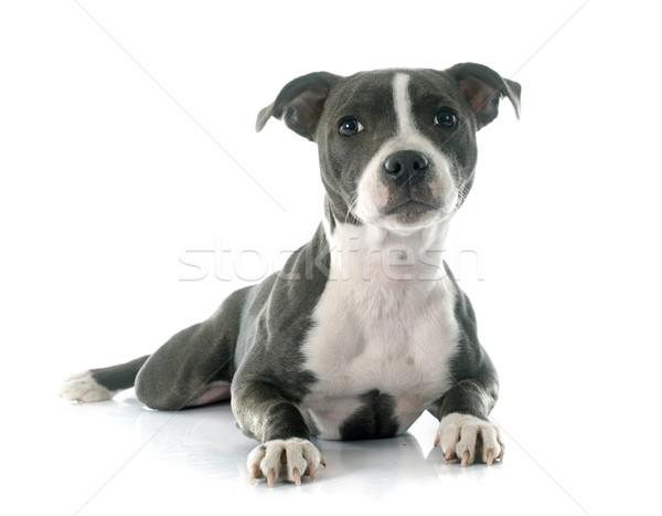 puppy staffordshire bull terrier Stock photo © cynoclub