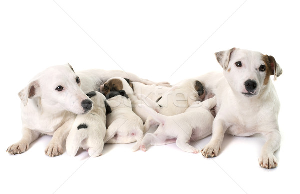 adult and puppies jack russel terrier Stock photo © cynoclub