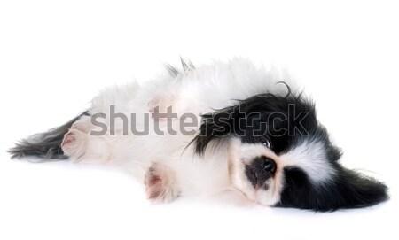 tired shetland sheepdog Stock photo © cynoclub
