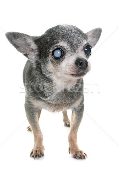 öreg szürkehályog fehér kutya szemek vak Stock fotó © cynoclub