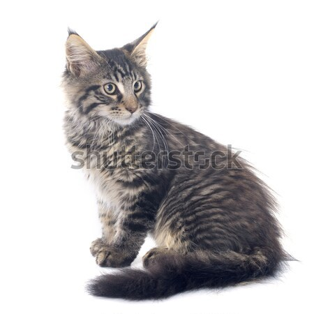 Stockfoto: Maine · kitten · kat · jonge