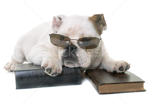 puppy english bulldog reading Stock photo © cynoclub