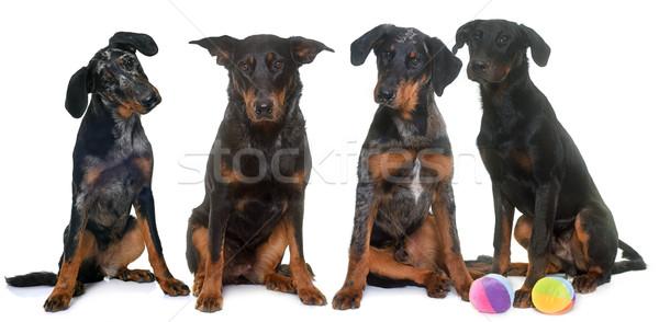 four beauceron in studio Stock photo © cynoclub