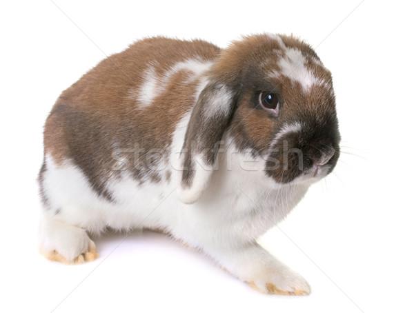 Cüce tavşan beyaz tavşan hayvan stüdyo Stok fotoğraf © cynoclub