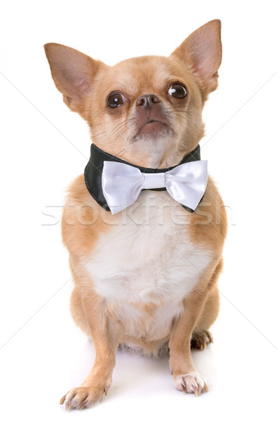 chihuahua and bowtie Stock photo © cynoclub