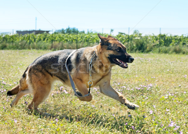 running german shepherd Stock photo © cynoclub