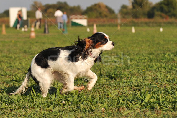 running cavalier king charles Stock photo © cynoclub