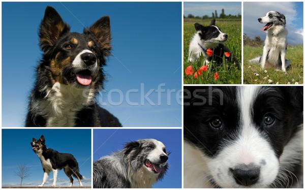 Border collie foto cani cuccioli Foto d'archivio © cynoclub