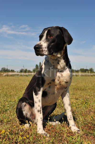 hunting dog Stock photo © cynoclub