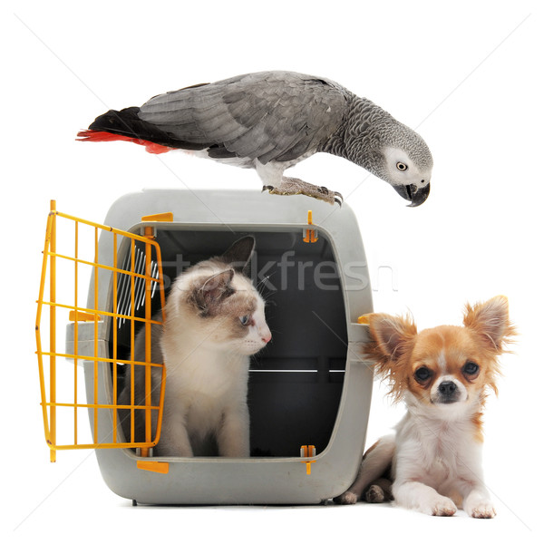 kitten in pet carrier, parrot and chihuahua Stock photo © cynoclub