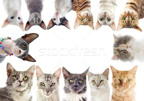 группа кошек белый кошки черный Сток-фото © cynoclub