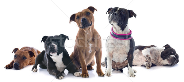 Beş boğa terriyer portre beyaz köpek Stok fotoğraf © cynoclub