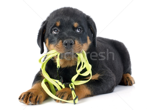 puppy rottweiler and leash Stock photo © cynoclub