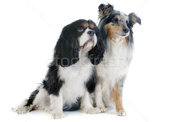 shetland dog and cavalier king charles Stock photo © cynoclub