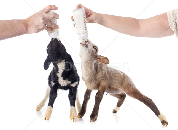 young lamb sucking Stock photo © cynoclub