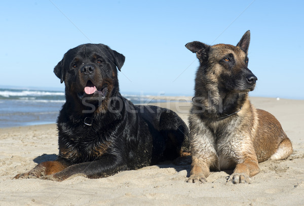 rottweiler and malinois Stock photo © cynoclub