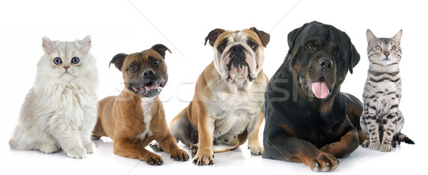 Chats chiens blanche chat amis studio Photo stock © cynoclub