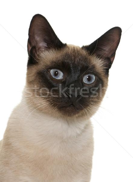 Fiatal sziámi macska fehér szemek fej kiscica Stock fotó © cynoclub