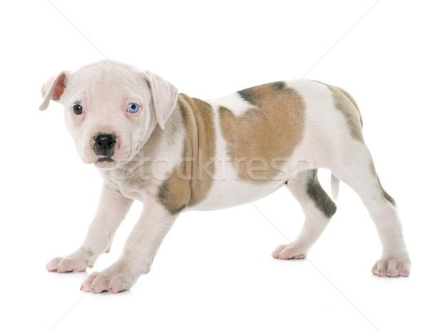 щенков Американский бульдог белый синий ПЭТ бульдог Сток-фото © cynoclub