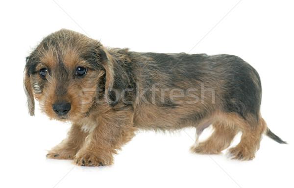 puppy Wire haired dachshund Stock photo © cynoclub
