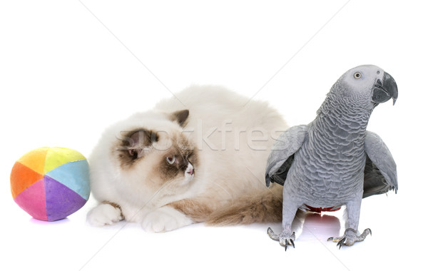 english longhair cat and parrot Stock photo © cynoclub