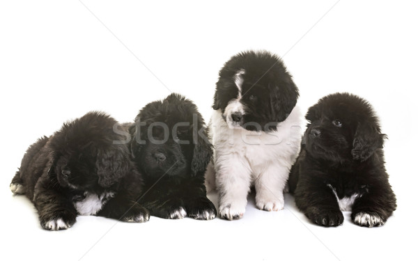 puppies newfoundland dog Stock photo © cynoclub