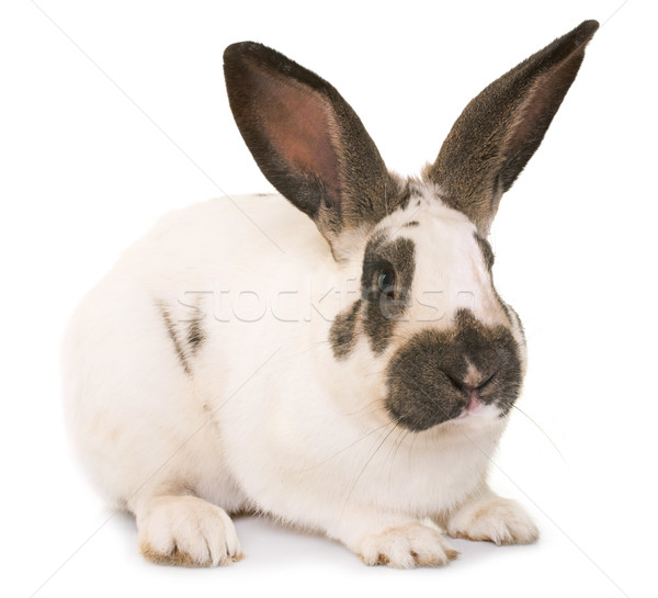 Checkered Giant rabbit Stock photo © cynoclub