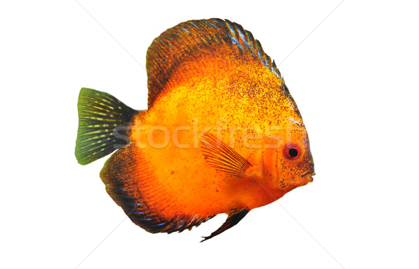 young discus Stock photo © cynoclub