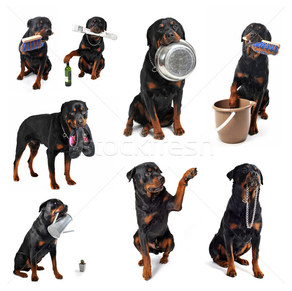 rottweiler and objects Stock photo © cynoclub