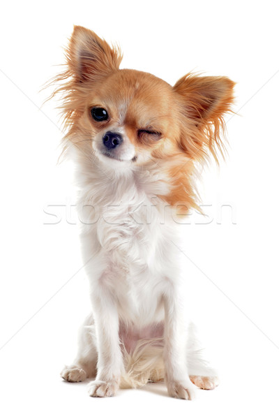 wink of chihuahua Stock photo © cynoclub