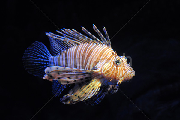 Red lionfish Stock photo © cynoclub