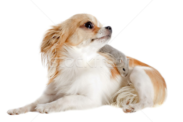 Stock photo: chihuahua and Djungarian hamster