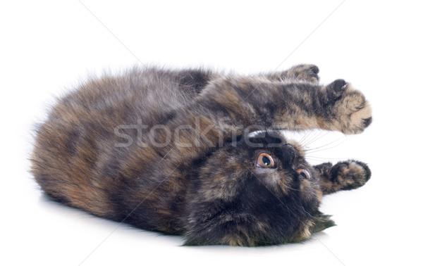 Exotic Shorthair kitten Stock photo © cynoclub