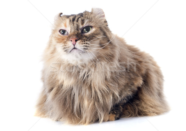american curl cat Stock photo © cynoclub