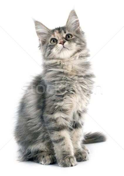 Maine kitten portret witte kat Stockfoto © cynoclub