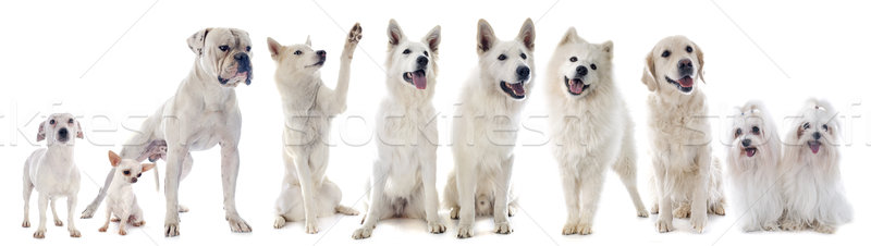 white dogs Stock photo © cynoclub