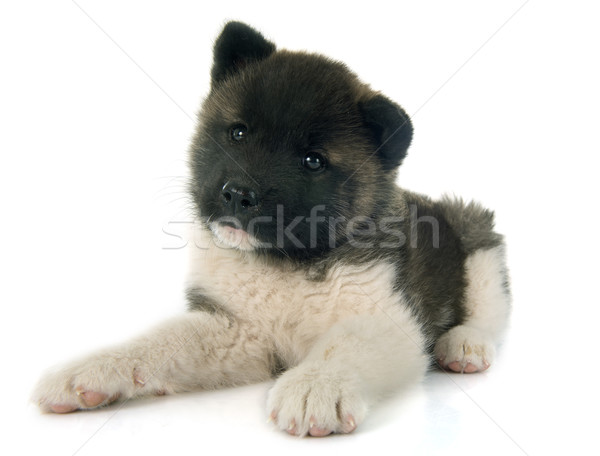 american akita puppy Stock photo © cynoclub