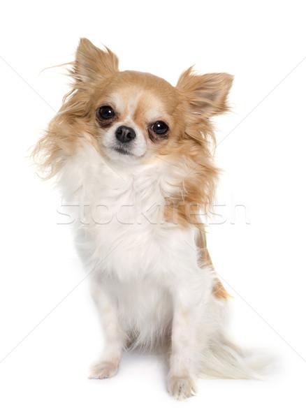 длинные волосы студию щенков ПЭТ Сток-фото © cynoclub