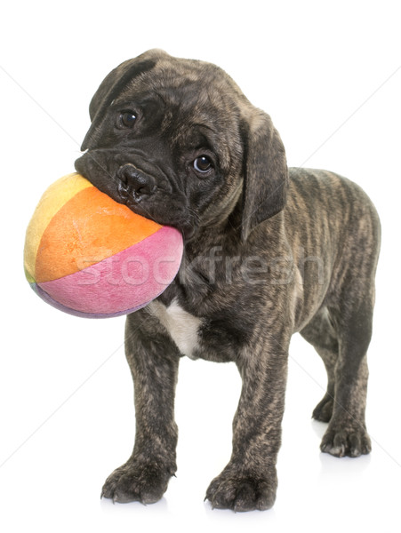puppy bull mastiff playing Stock photo © cynoclub