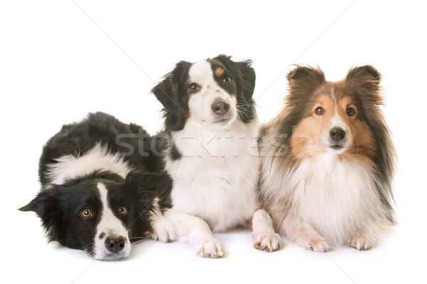 three dogs in studio Stock photo © cynoclub