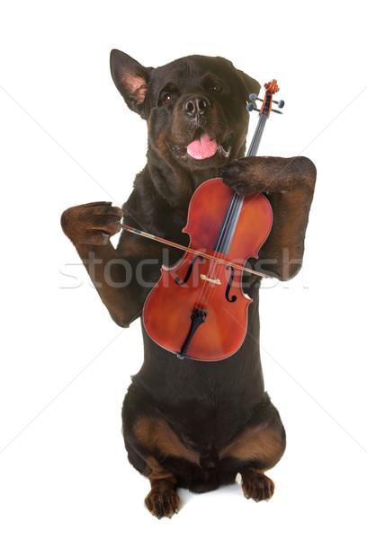Rottweiler keman ayakta yukarı beyaz müzik Stok fotoğraf © cynoclub
